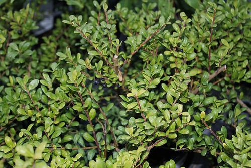 Ilex aquifolium - houx commun  19neir10