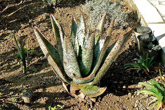 Aloe - identifications [verrouillé] 1_1010