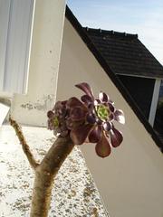 Aeonium arboreum 'Atropurpureum' 1_12bi10