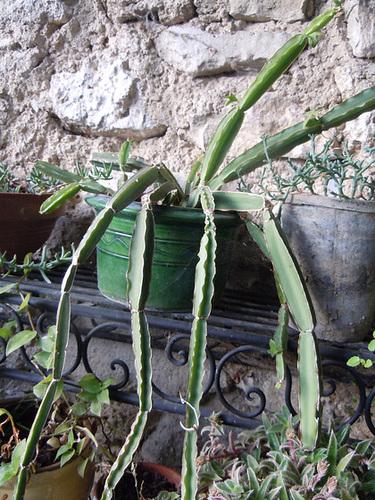 Cissus quadrangularis - vigne du Veld  1_13ab10