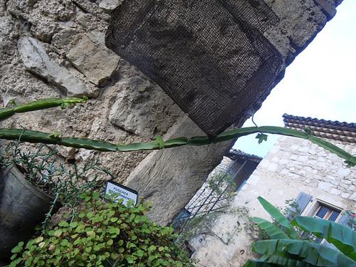 Cissus quadrangularis - vigne du Veld  1_1510