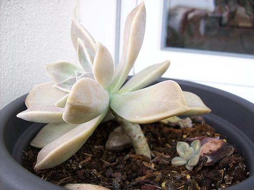 Graptopetalum paraguayense 1_3sol10