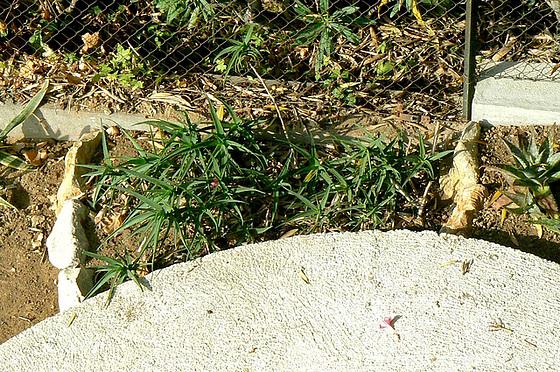 Aloe - identifications [verrouillé] 1_4avi10