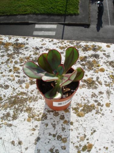 Echeveria nodulosa 1_4bip10