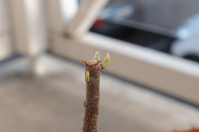 Adansonia digitata - baobab africain 1_4dav10