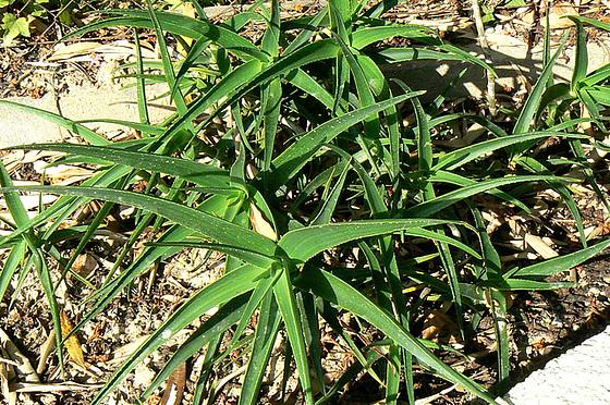 Aloe - identifications [verrouillé] 1_510