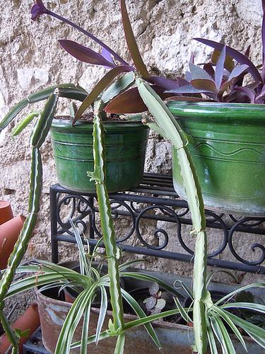 Cissus quadrangularis - vigne du Veld  1_5abe11