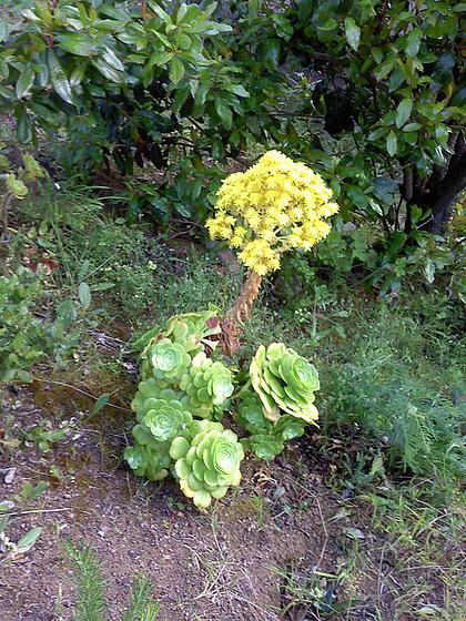 Aeonium arboreum 'Atropurpureum' 1_5mel11