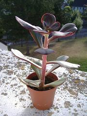 Echeveria nodulosa 1_6bip10