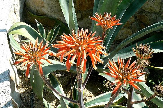 Aloe - identifications [verrouillé] 1_710