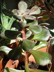 Echeveria nodulosa 1_7bip10