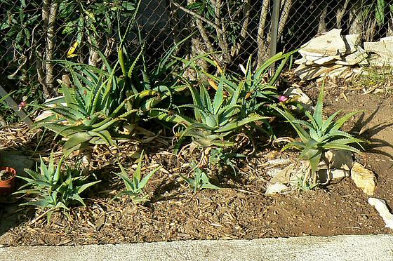 Aloe - identifications [verrouillé] 1_810