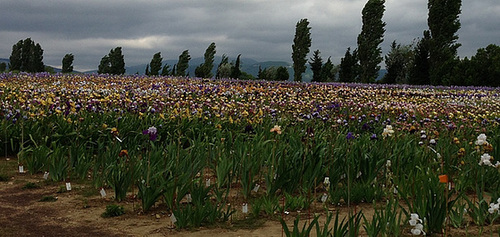 Floraisons de nos Iris barbus 2013 - Page 4 1ab12