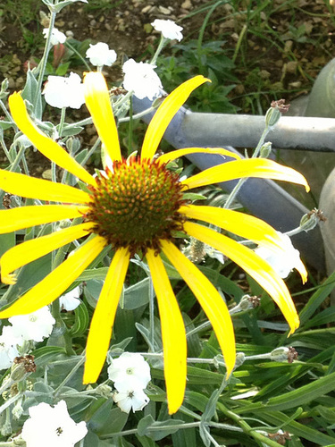 Echinacea paradoxa - échinacée jaune 1abeil17