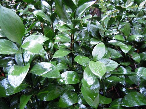 Ruscus hypophyllum 1abeil18