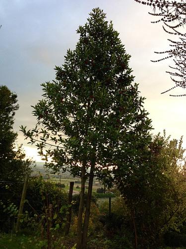 Ilex 'Castaneifolia' - houx à feuille de châtaignier 1abeil33