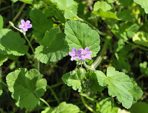 Erodium malacoides - érodium à feuilles de mauve 1ana10