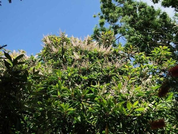 Clethra arborea 1aval10