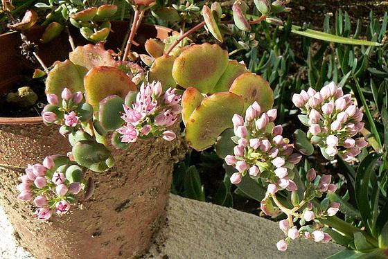 Hylotelephium sieboldii (= Sedum sieboldii) 1avia11