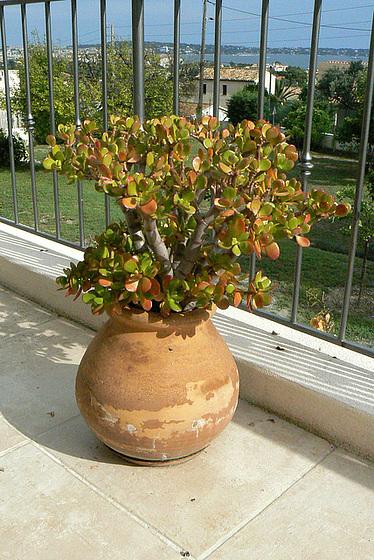Crassulaceae - identifications et questions [verrouillé] 1avia12