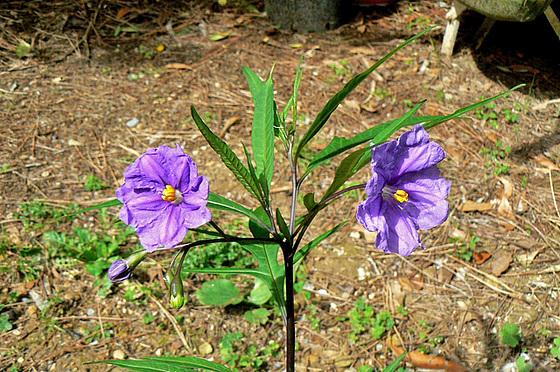Solanum laciniatum, Solanum aviculare, Ruellia - confusions 1avia15