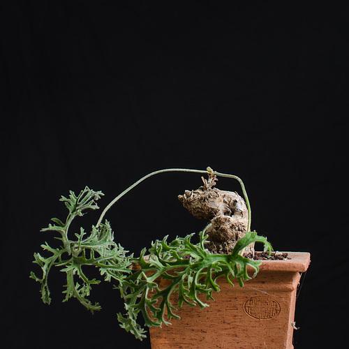 Pelargonium pulverulentum 1corto12