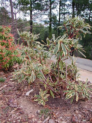Rhododendron ponticum variegatum 1cug17