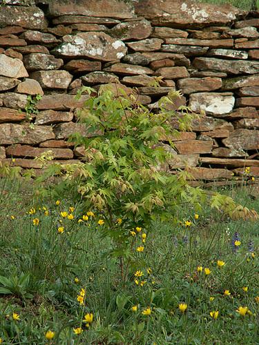 Acer palmatum 'Oridono Nishiki' 1cug19
