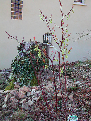 Stachyurus chinensis 'Celina' 1cug20