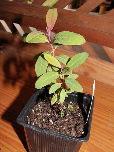 Eucalyptus deglupta 1cug23
