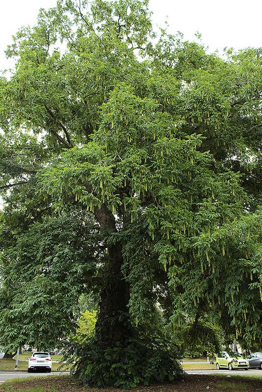 Pterocarya caucasica 1dav13