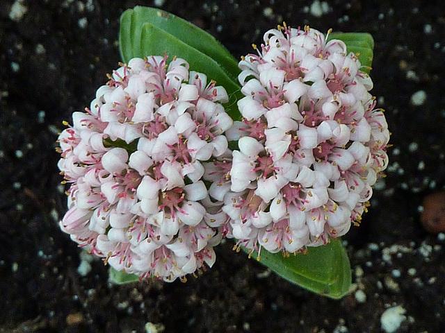 Crassula 'Bride's Bouquet' 1dheev10