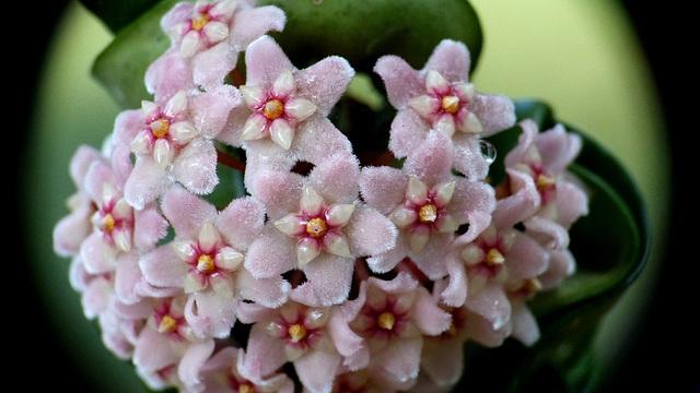 Hoya carnosa compacta 1dheev14