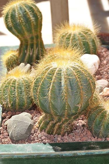 Notocactus magnificus 1fj7110