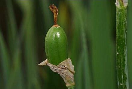 semis d'Iris 1heami10