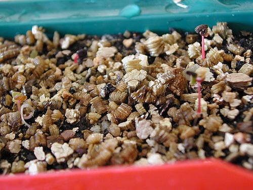 semis d'Eucalyptus 1isa12