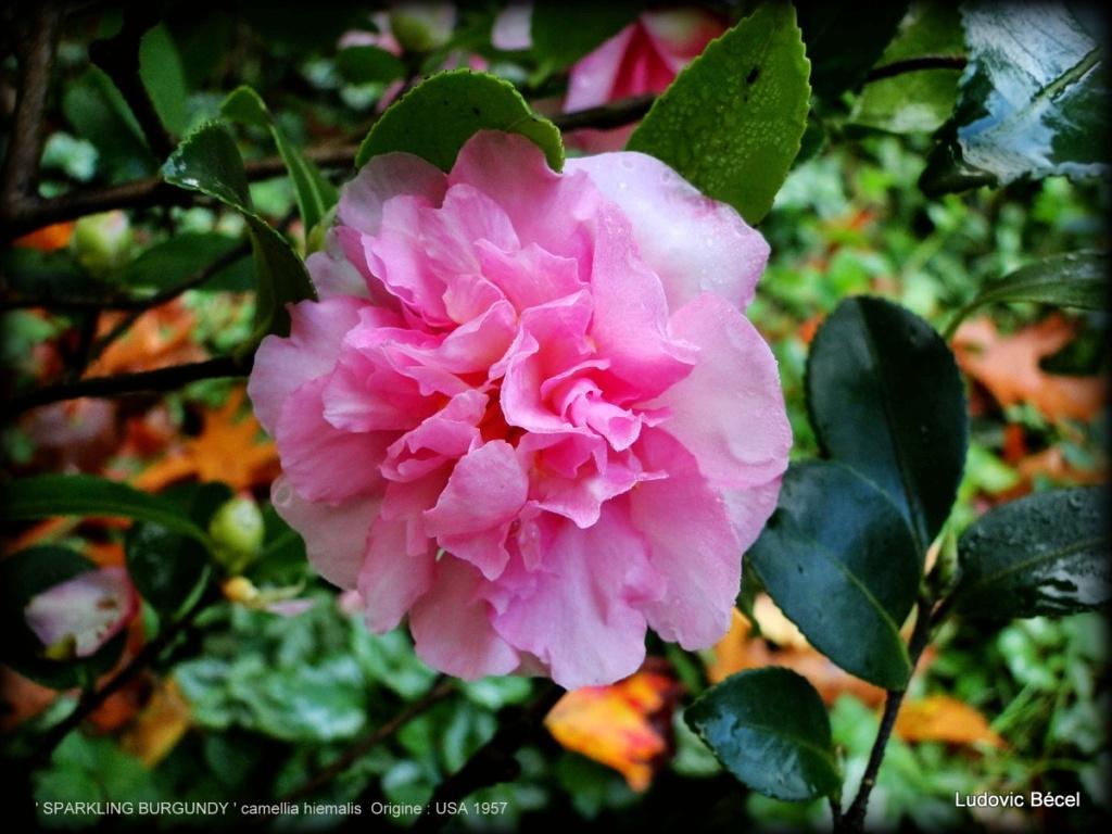 Floraisons automnales et de fin d'année , camellias etc... 1ludo10