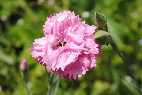 Dianthus plumarius - les oeillets mignardises 1mealo13