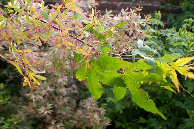 Acer palmatum 'Marlo' 1mealo14