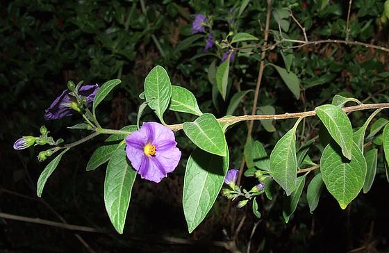 Solanum rantonnetii 1mealu12