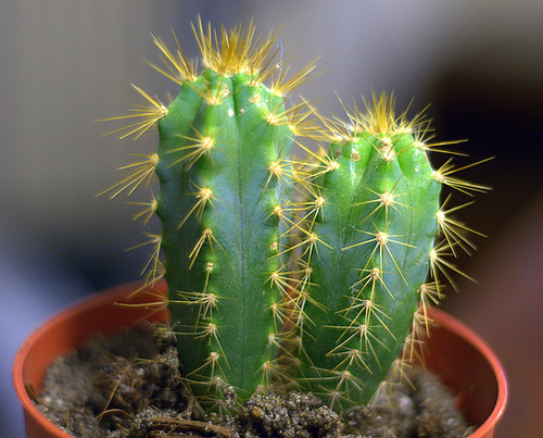 Cereus hildmannianus ou Cereus jamacaru ? 1melo12
