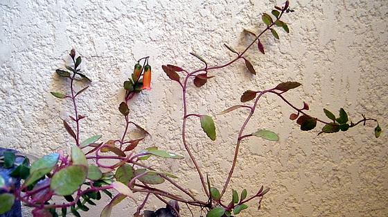 Bryophyllum 'Tessa' (= Kalanchoe 'Tessa') 1melu10