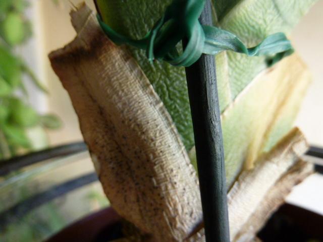Angraecum magdalenae 1nath10