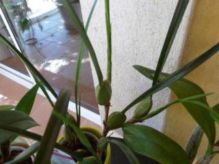 bouturer une Maxillaria tenuifolia 1nath11