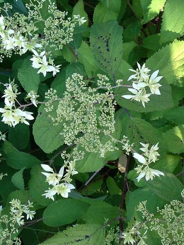 Hydrangea arborescens 'Hayes Starburst' 1neir10