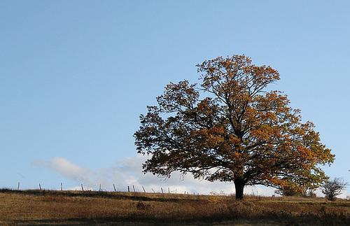 Quercus pedonculatus - chêne pédonculé 1neir101