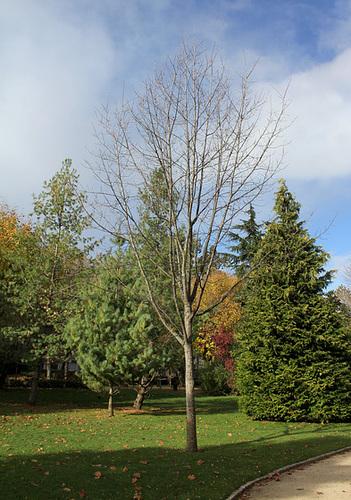 Quercus rubra, Quercus coccinea, Quercus palustris - chênes rouges américains 1neir103