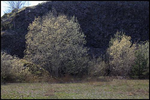 Salix caprea - saule marsault, saule des chèvres 1neir104
