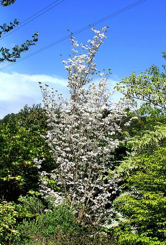 Cornus florida - cornouiller à fleurs  1neir105
