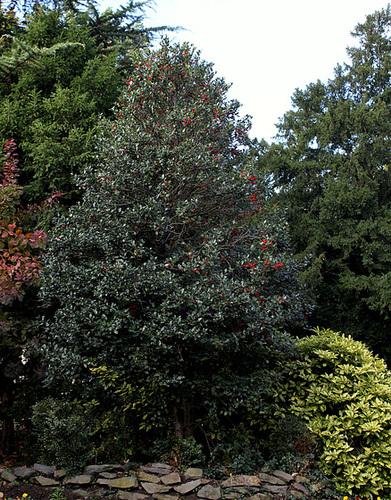 Ilex aquifolium - houx commun  1neir106